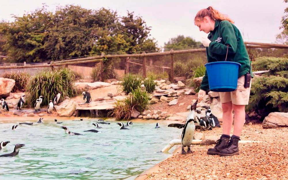 London Zoo tickets - a zookeeper feeds penguins fish from a bucket