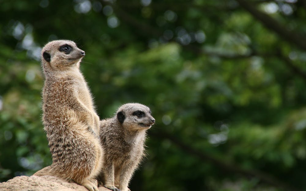 The 4 Day London Pass with Travel - Meerkats at London Zoo