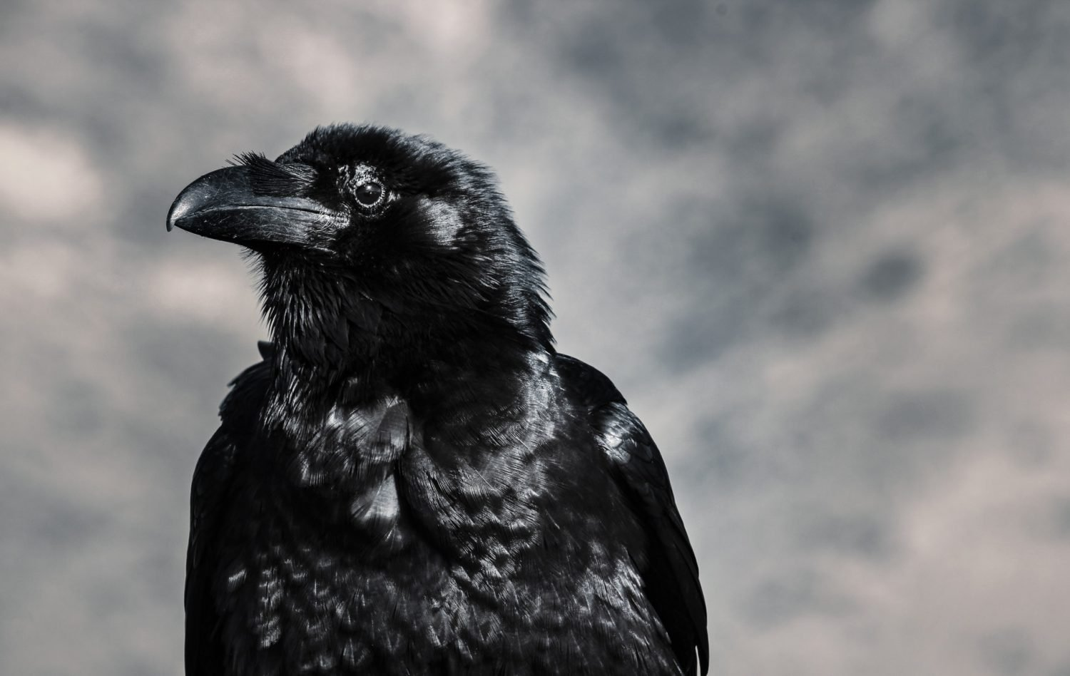 The Tower of London - The Tower Ravens